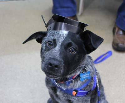 Graduating from puppy preschool Newcastle
